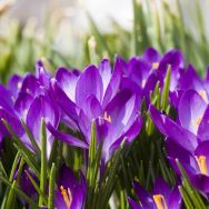 Napkins - Crocus Field